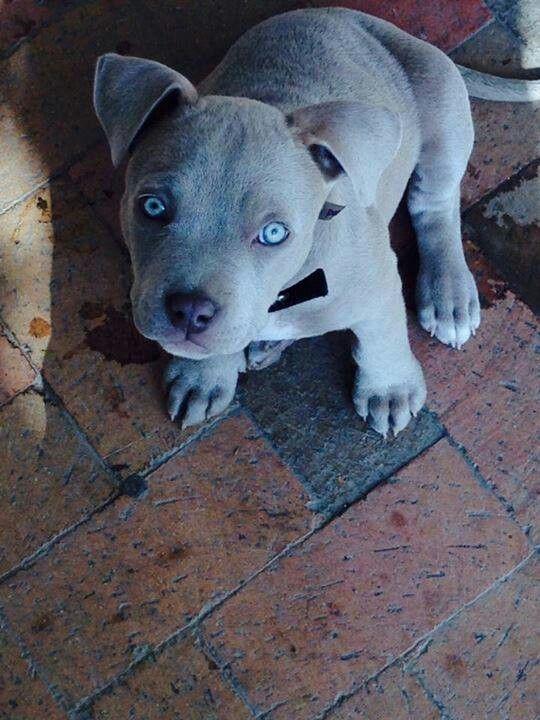 378 Best Pit Bulls Images On Pinterest Puppies