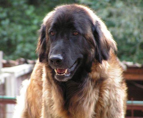 Estrela mountain (Dog standard) (Estrela Mountain Dog)
