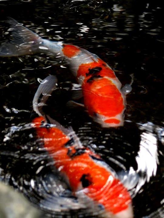 www.villabuddha.com Colored carp