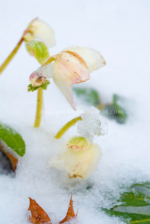 Hellebore-in-Snow-J037830.jpg (503×750)