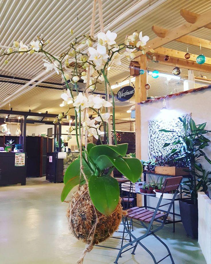 Idag fick Karolina vår duktiga praktikant testa på att göra kokedamas med orkidéer. Här har hon knutit en egen ampel till dem som ska hängas upp i butiken.  #kokedama #mossboll #orkidé #orchid #gördetsjälv #DIY #dekoration #inspiration #ampel #knytaampel #wexthuset #inspirationsbutik