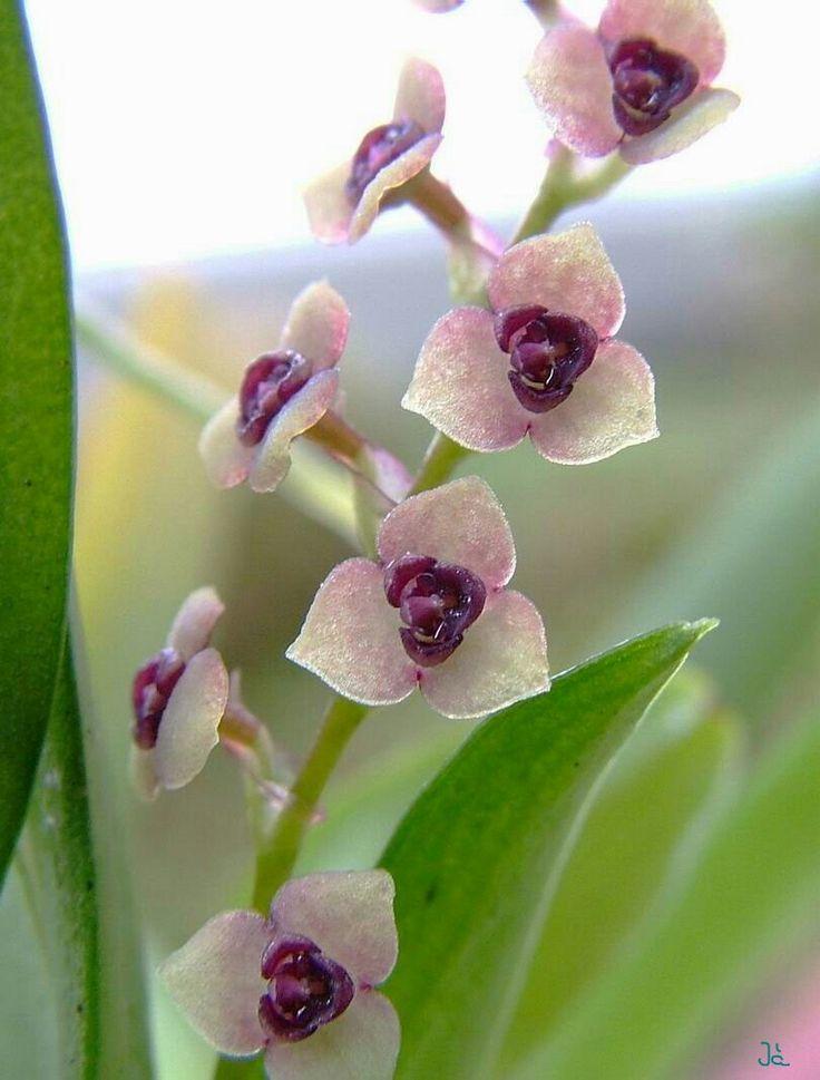 """STELIS Orquídeas de lixiviación ( género Stelis) es un gran grupo de orquídeas , con tal vez 500 especies . El nombre genérico Stelis es el griego palabra para """" muérdago """", en referencia a la epífita hábito de estas especies. Estos principalmente epifitas (raramente litofíticas ) las plantas se encuentran ampliamente distribuidos en gran parte de América del Sur , América Central , México , el de las Indias Occidentales y la Florida ."""