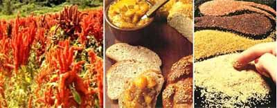 Amarantus (Szarłat). Coraz częściej nazywany jest zbożem XXI w., ponieważ jego nasiona pod względem najważniejszych składników odżywczych przewyższają nawet pszenicę. Reguluje biosyntezę cholesterolu, co zapobiega chorobom układu krążenia. Zawiera nienasycone kwasy tłuszczowe, które zmniejszają ryzyko chorób serca i rozwój miażdżycy. Ma wysoką zawartość białka. Nie zawiera glutenu, natomiast ma dużo skwalenu – lipidu opóźniającego procesy starzenia, łatwo przyswajalnego żelaza, wapnia i…