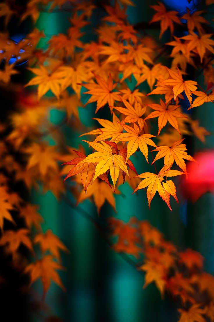 Bamboo and maple -