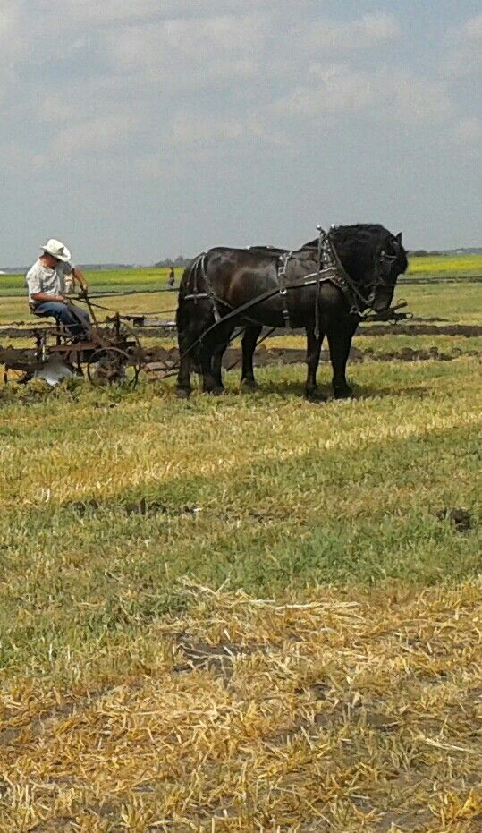 Heavy horse plowing match