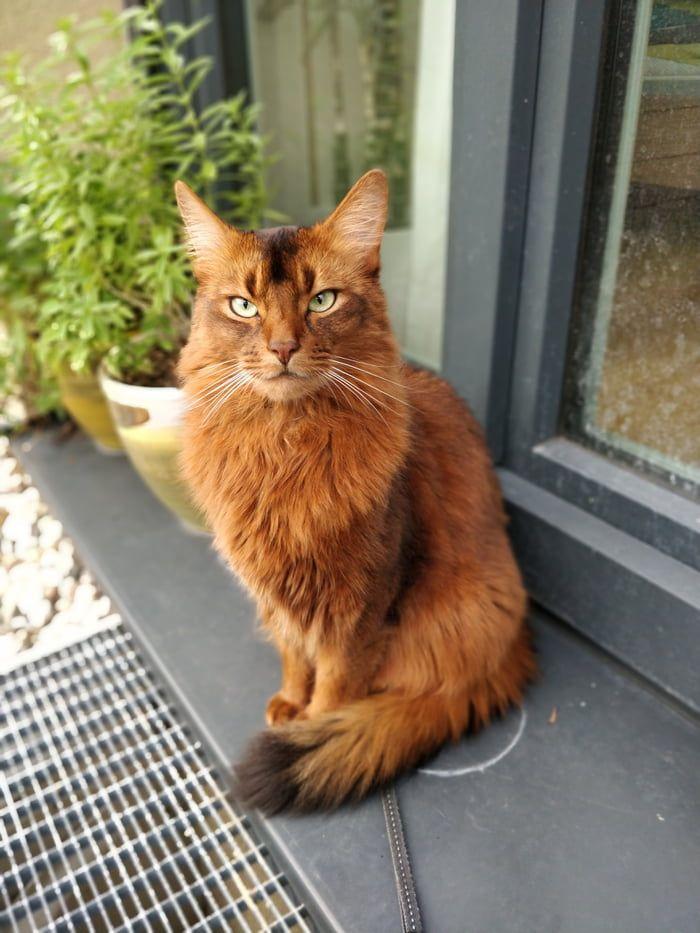 Our beautiful somali cat, goliath
