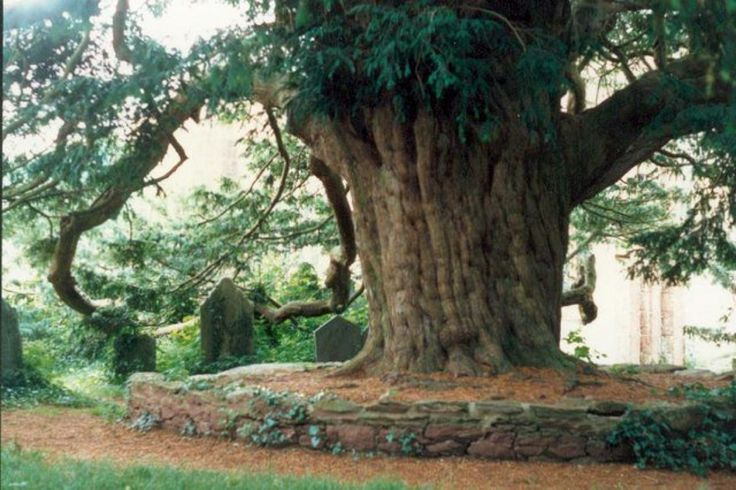 If you can walk backwards around the Yew tree at Stoke Gabriel 7 times without stumbling, you will be granted a wish #FolkloreThursday #tree