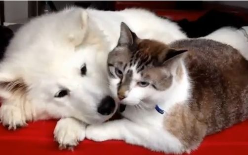 Samoyed Puppy and Cat Give Kisses – Cat Videos