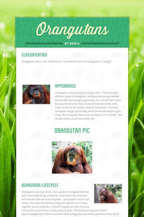 Orangutans by Sam A