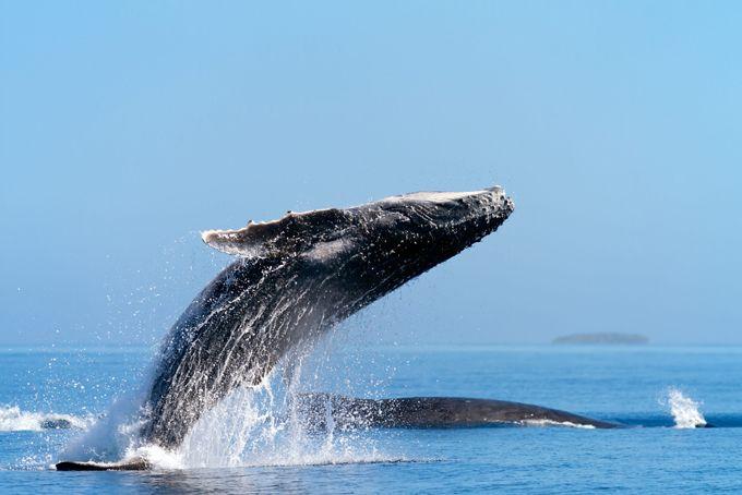 Photo album Humpback whales flying
