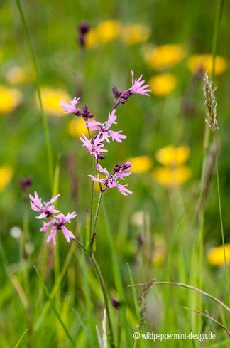 Kuckuckslichtnelke, rosa lichtnelke, wildblume, wildeschoenheiten.wordpress.com