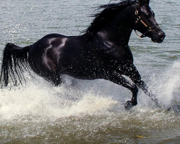 Black stallions pictures