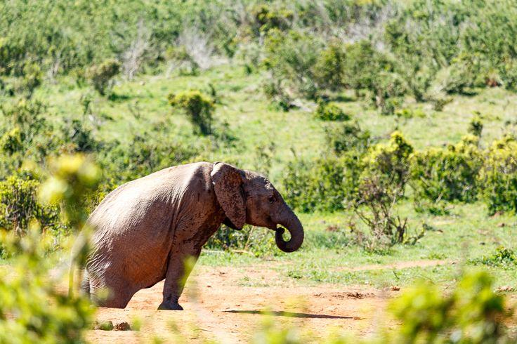 Elephant struggling to climb out  Elephant struggling to climb out of the watering hole.