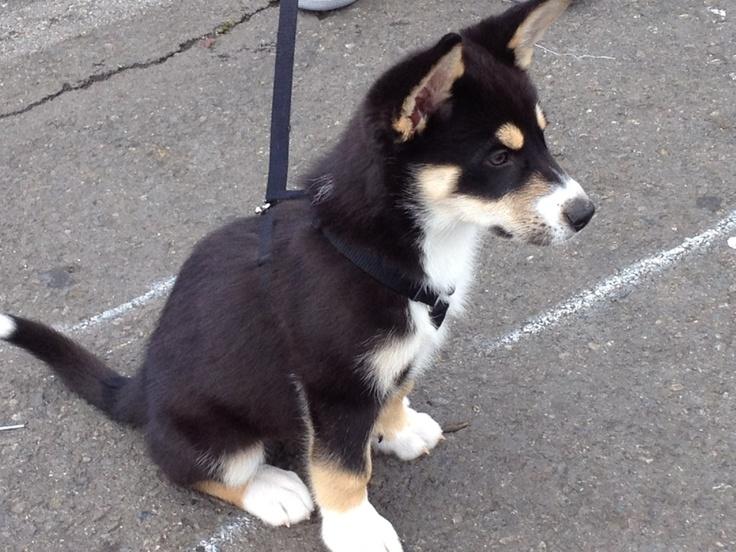 German shepherd, Siberian husky mix. Cutest. Puppy. Ever ...