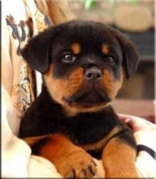 Awww it's a cute baby.. #collarbuddies #rottweiler #rottweikers…