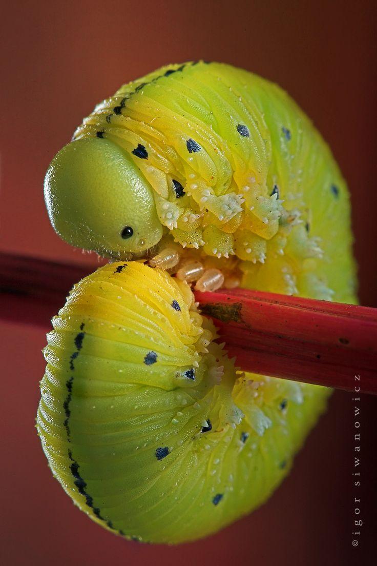 best butterflyus ect images on pinterest butterfly linnaeus