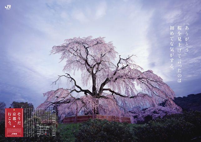 「そうだ 京都、行こう。」2006年【春】円山公園 「ありがとう」桜を見上げて言ったのは 初めてな気がする。