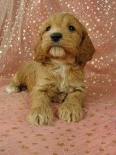 a cockapoo puppy  Cockapoo breeder in Iowa. Ships puppies and offers them at a lower cost than the average.