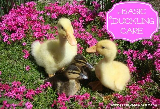 The is the best article on raising ducklings!  I can attest to the fact that they are INCREDIBLY and NATURALLY messy. :)  4 times as messy as chickens, in fact!  I wish I had this article when first starting out with baby ducks. - Fresh Eggs Daily®: Basic Duckling Care - Raising Healthy Happy Ducks