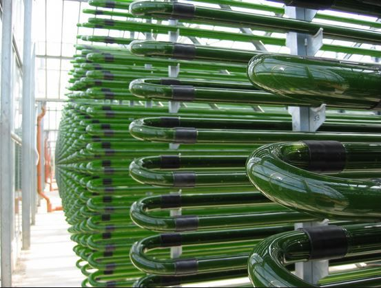 This Is A Tubular Photobioreactor In A Greenhouse Growing