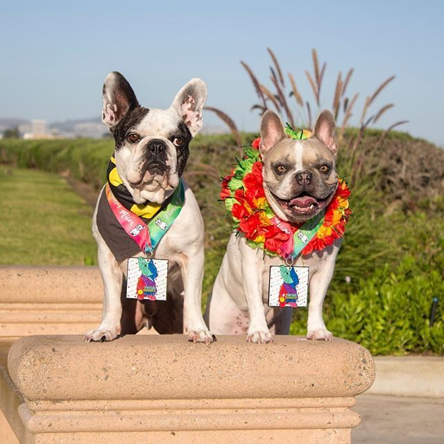 Ace and Cherie received their medals for the Virtual Frenchie Run - @virtualcharityruns benefiting the @frenchbulldogrescue! We got to run or walk on our own time, our own turf and they got real medals too! This definitely put the fun in fundraising. Make sure to sign up at http://runsignup.com/virtualfrenchierun 😈🥇🏄‍♀️🥇 Ace and Cherie, French Bulldogs @amymonkey72 on instagram