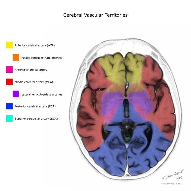 Best 118 neuro anatomy ideas on Pinterest   Anatomy, Anatomy ...