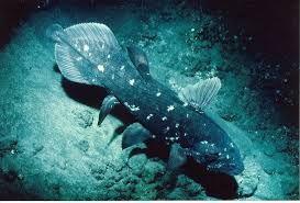 latimérie podivná - je označována jako tzv. živoucí fosílie