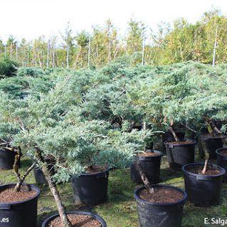 Juniperus, enebros en Plantamus