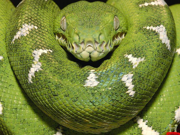 The Dangerous Green Anaconda