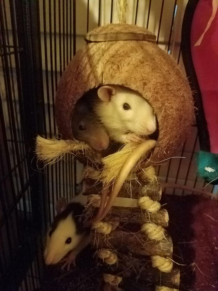 I just expanded my rat family! Meet my the newest additions. #aww #cute #rat #cuterats #ratsofpinterest #cuddle #fluffy #animals #pets #bestfriend #ittssofluffy #boopthesnoot