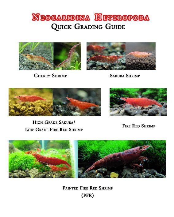 Red cherry shrimp or sakura shrimp?