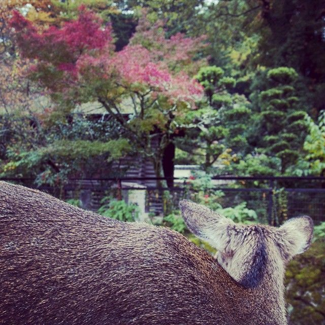 #5 おく山に紅葉ふみわけなく鹿の 声きく時ぞ秋はかなしき #百人一首