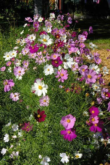 punakosmos(kukka) - Cosmos bipinnatus (kylvö)