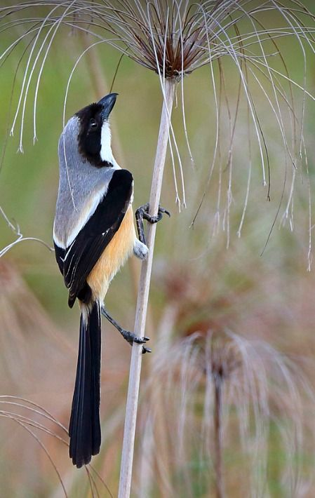 Long-tailed shrike (Lanius schach). A common bird of temperate and tropical Asia. photo: Sheau Torng Lim.