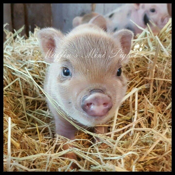 www.muffins-mini-piglets.com