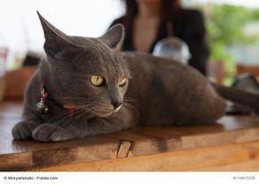 ★ Der Steckbrief über die beliebte Katzenrasse Korat, mit Bildern und allen Informationen zur Rasse, dem Wesen und der Herkunft. ★