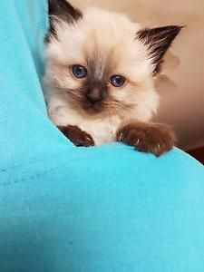 ragdoll kittens in New South Wales Pets Gumtree