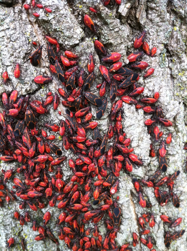 Box elder bugs are just one of the many pests that we help