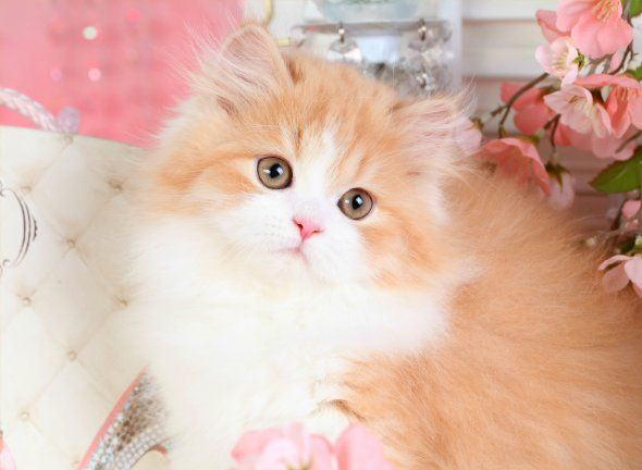 Persian cats for sale in north yorkshire