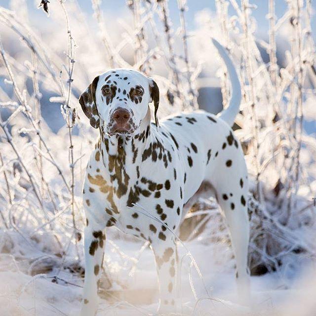 Chess 7 months old Dalmatian  #Dalmatian #dalmatiner #hund #cane #hundfoto #dog #dogphotography #bestofdog #dogsofinstagram #canon5dmarkiii #canon #teamcanon #winter#dalmationofinstagram
