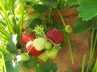 fraisier en pot