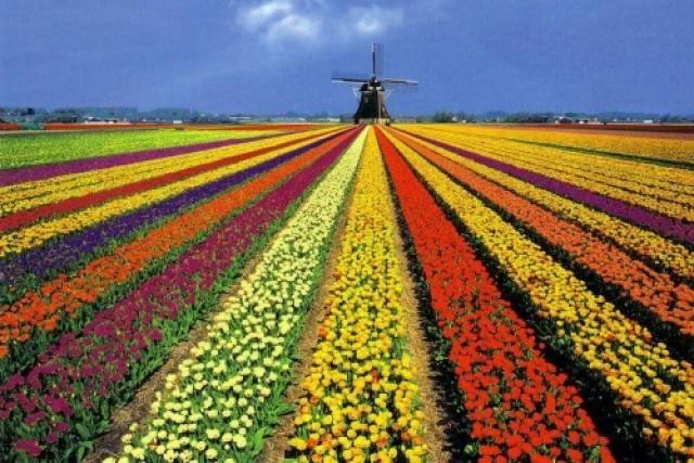 22. Campos de tulipanes (Holanda) Cuando uno piensa en Holanda, espontáneamente le vienen a la cabeza grandes extensiones de campo, bañadas por ríos y canales, y pintadas de mil colores. Esta magia del país neerlandés estalla en primavera, cuando florece la planta que es el símbolo de esta tierra: el tulipán.