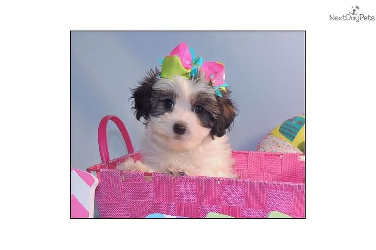 Meet Chloe a cute Shichon puppy for sale for $750. Chloe is awe so cute.