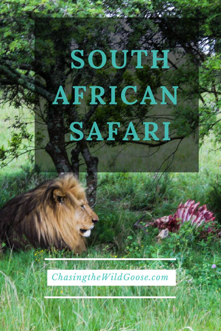 A Safari in South Africa is an experience you cannot afford to miss out on. Safari close to cape town, affordable South African safari, things to do near Cape Town, things to do on the garden route, safari South Africa, safari review Port Elizabeth, Safari near Port Elizabeth