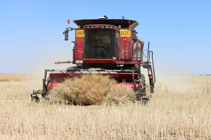 Harvesting the canola