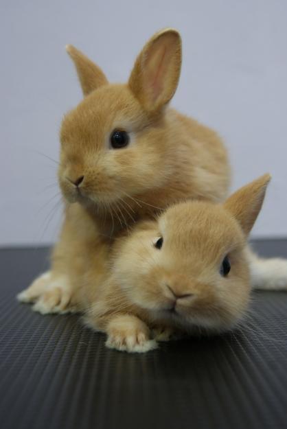 Orange Dwarf Rabbit - Pics about space