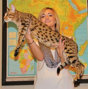 Gibson2 #savannahcats #SEpintowin  i like the name, hint hint ;)