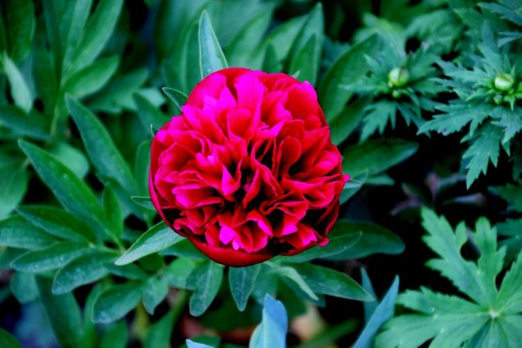 Tarhapioni (talonpoikaispioni) Paeonia officinalis 'Rubra Plena'