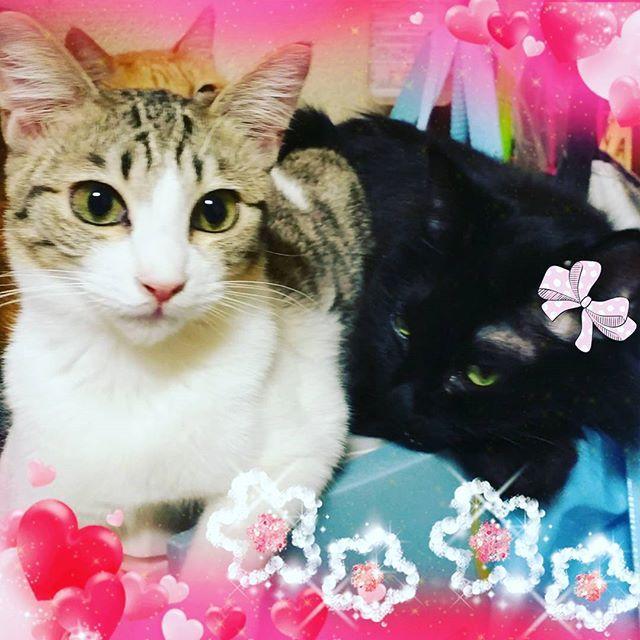 雅ちゃん💕ミントちゃん💕 今日は、ミントの隣、みやちゃん😺✌ 優しいもんねミント😊 #愛猫 #大好きな猫ちゃんの隣 #キジトラ猫 #黒長毛猫 #猫ちゃんのいる暮らし