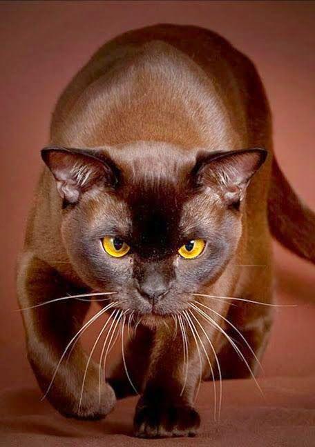 Ravenwhimsy's Wonderful World. Lovely brown Burmese.